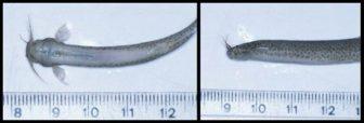 mesure du poisson vampire candiru